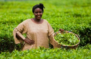 Uganda tea picker